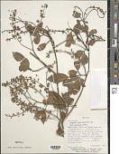 view Serjania paucidentata DC. digital asset number 1