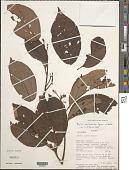 view Apeiba membranacea Spruce ex Benth. digital asset number 1