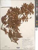 view Serjania rubicaulis Benth. ex Radlk. digital asset number 1