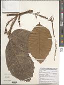 view Allophylus le-testui Pellegr. digital asset number 1