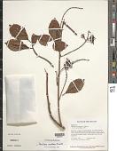 view Paullinia isoptera Radlk. digital asset number 1