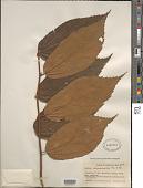 view Luehea seemannii Triana & Planch. digital asset number 1
