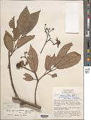 view Apeiba aspera subsp. membranacea Aubl. digital asset number 1