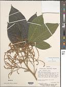 view Allophylus divaricatus Radlk. digital asset number 1