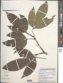 view Allophylus ngounyensis Pellegr. digital asset number 1