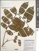 view Ganophyllum giganteum (A. Chev.) Hauman digital asset number 1