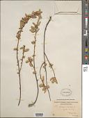 view Corchorus hirsutus L. digital asset number 1