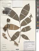 view Placodiscus opacus Radlk. digital asset number 1