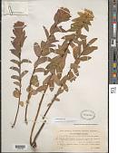view Euphorbia illirica Lam. digital asset number 1