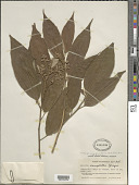 view Trichospermum grewiifolium (A. Rich.) Kosterm. digital asset number 1