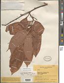 view Mollia lepidota Spruce ex Benth. digital asset number 1
