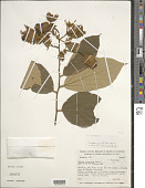 view Luehea grandiflora Mart. digital asset number 1