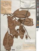 view Lueheopsis duckeana Burret digital asset number 1