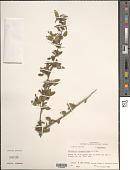 view Malvastrum coromandelianum (L.) Garcke digital asset number 1