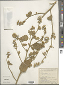 view Sida cordifolia L. digital asset number 1