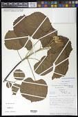 view Eriolaena poissonii (Arènes) Dorr digital asset number 1