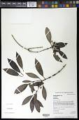 view Geniostoma tinifolium A. Gray var. tinifolium digital asset number 1