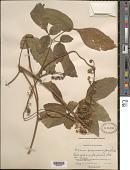 view Serjania caracasana (Jacq.) Willd. digital asset number 1