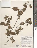 view Llagunoa nitida var. mollis (Kunth) Radlk. digital asset number 1