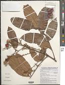 view Aporrhiza nitida Gilg ex Milne-Redh. digital asset number 1