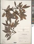 view Elattostachys falcata (A. Gray) Radlk. digital asset number 1
