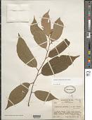 view Goethalsia meiantha (Donn. Sm.) Burret digital asset number 1