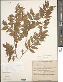 view Eurya japonica var. nitida (Korth.) Dyer digital asset number 1