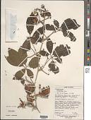 view Passiflora cirrhiflora A. Juss. digital asset number 1