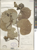 view Hibiscus tiliaceus L. digital asset number 1
