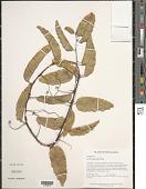 view Passiflora securiclata Mast. digital asset number 1