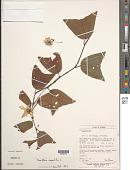 view Passiflora vespertilio L. digital asset number 1