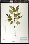 view Prunus serotina Ehrh. digital asset number 1