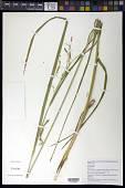 view Carex crinita Lam. digital asset number 1