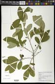 view Gaylussacia frondosa (L.) Torr. & A. Gray digital asset number 1
