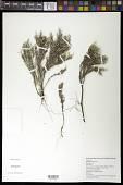 view Hudsonia tomentosa Nutt. digital asset number 1