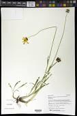 view Coreopsis lanceolata L. digital asset number 1