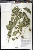 view Helianthus hirsutus Raf. digital asset number 1