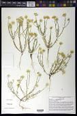 view Machaeranthera gracilis (Nutt.) Shinners digital asset number 1