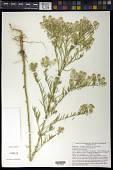 view Lepidium alyssoides var. eastwoodiae (Wooton) Rollins digital asset number 1