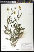 view Helianthus petiolaris Nutt. digital asset number 1