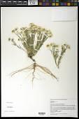 view Chaetopappa ericoides (Torr.) G.L. Nesom digital asset number 1