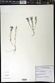 view Clarkia purpurea subsp. quadrivulnera (Douglas) H. F. Lewis & M.R. Lewis digital asset number 1