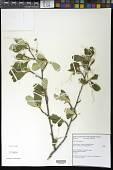 view Cercocarpus ledifolius Nutt. digital asset number 1