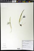 view Calochortus uniflorus Hook. & Arn. digital asset number 1