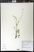 view Ranunculus occidentalis Nutt. var. occidentalis digital asset number 1