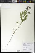 view Silene hookeri subsp. serpentinicola (T.W. Nelson & J.P. Nelson) K.L. Chambers & S.C. Meyers digital asset number 1