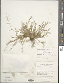 view Muhlenbergia uniseta (Lag.) Columbus digital asset number 1