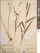 view Gouinia latifolia var. latifolia digital asset number 1