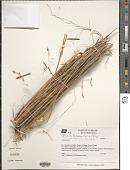 view Gouinia latifolia Vasey digital asset number 1