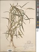 view Muhlenbergia frondosa (Poir.) Fernald digital asset number 1